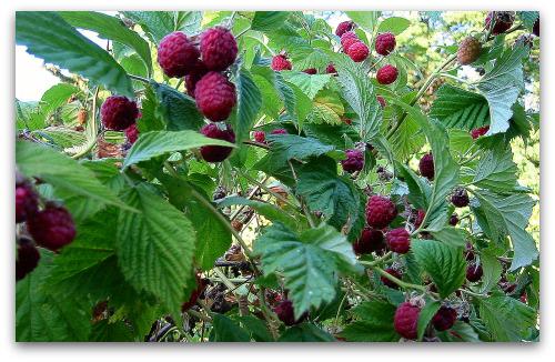 raspberry-plants-ripe-berries